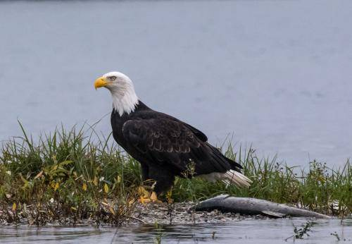 Some Amazing Bald Eagle Facts